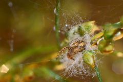 Pond wolf spider. On his web after rain Stock Photography