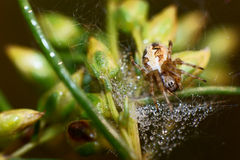 Pond wolf spider. Spiders and water drops early in the morning Stock Photo