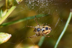 Pond wolf spider. On his web after rain Stock Images