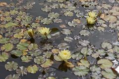 Pond with yellow Nymphaea. Nymphaea plans with yellow inflorescence stock photo