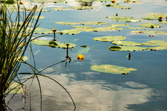Pond with yellow pods Royalty Free Stock Photos
