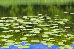 Pond with yellow wate lilies Royalty Free Stock Photo