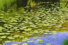Pond with yellow water lilies Royalty Free Stock Photography
