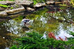 Pond in zen garden Royalty Free Stock Images