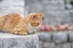 Pondering cat Stock Photography