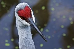 A Pondering Egret in a Bokah Pond Stock Images