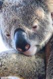 Pondering Koala Stock Images
