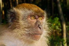 Pondering o primata Foto de Stock Royalty Free