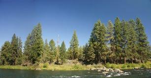 Ponderosa Pine. On side or river, Deschutes River,Central Oregon Stock Photography