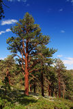 Ponderosa Pine Royalty Free Stock Photos
