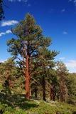 Ponderosa Pine. Tree on the eastern slope of the Sierra Nevada Mountains Royalty Free Stock Photos