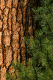Ponderosa Pine Stock Photos