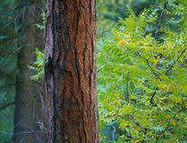 Ponderosa pine along the Holt-Apache Trail, Gila Wilderness, New Mexico Royalty Free Stock Image