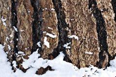 Ponderosa Pine Bark Macro. Textured Ponderosa Pine Bark and snow, macro Stock Photo