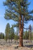 Ponderosa pine Stock Images