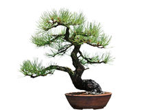 Ponderosa Pine Bonsai Tree Royalty Free Stock Photos