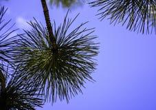 Ponderosa Pine Branch Stock Image