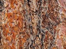 Ponderosa Pine. Closeup of Ponderosa Pine at Big Bear, CA Royalty Free Stock Photos
