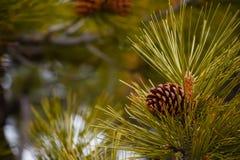 Ponderosa Pine Cone Detail Royalty Free Stock Photos