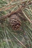 Ponderosa pine cone Stock Photography