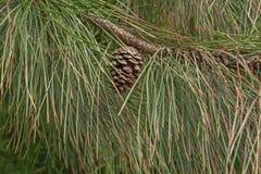 Ponderosa pine cone Stock Images