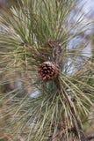 Ponderosa pine cone Royalty Free Stock Images