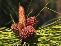 Ponderosa Pine With Cones And Flower. In late spring Royalty Free Stock Image
