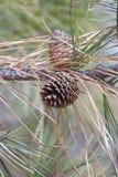 Ponderosa pine cones Stock Photo