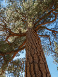 Ponderosa Pine Stock Photography