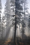 Ponderosa Pine in the Fog. Photo of ponderosa pines with sunlight filtering through low-lying clouds (fog Royalty Free Stock Images