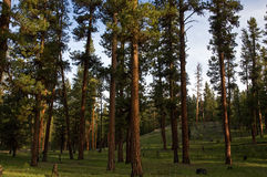 Ponderosa Pine forest Royalty Free Stock Photo