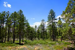 Ponderosa Pine Forest in Bryce Canyon National Park. Ponderosa Pine forest and green meadow in Bryce Canyon National Park Royalty Free Stock Photo