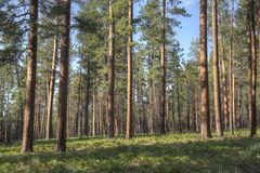 Ponderosa Pine Forest Stock Images