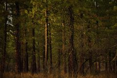 Ponderosa pine forest Royalty Free Stock Images
