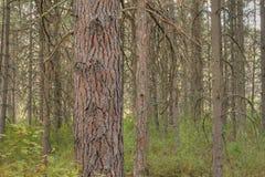 Ponderosa pine forest Royalty Free Stock Image