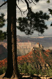 Ponderosa Pine - Grand Canyon, Arizon Stock Photos