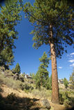Ponderosa Pine, on hillside Stock Photo