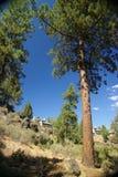 Ponderosa Pine, on hillside. Deschutes River,Central Oregon Stock Photo