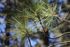Ponderosa Pine Needles. Needles of a ponderosa pine with a blurred forest background Royalty Free Stock Images