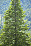 Ponderosa Pine in Payette National Forest near McCall Idaho Royalty Free Stock Photos