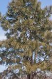 Ponderosa pine. Pinus ponderosa. Called Bull Pine, Blackjack Pine and Western Yellow Pine also Royalty Free Stock Images