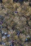 Ponderosa pine Royalty Free Stock Image