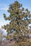 Ponderosa pine. Pinus ponderosa. Called Bull Pine, Blackjack Pine and Western Yellow Pine also Stock Photos
