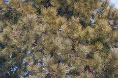 Ponderosa pine Stock Photo