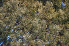 Ponderosa pine Royalty Free Stock Photography