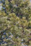 Ponderosa pine Stock Image