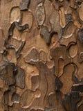 Ponderosa Pine (Pinus ponderosa). A close-up composition of ponderosa pine bark Royalty Free Stock Image