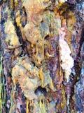 Ponderosa Pine Sap and Bark. Bark is oozing sap on this high desert Ponderosa Pine in Bend Oregon Stock Photography