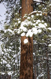 Ponderosa Pine in the Snow Stock Images