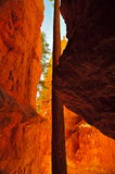 Ponderosa Pine stem in between cliffs in Bryce Canyon Royalty Free Stock Images